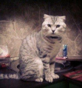 Кот. Шотландец. Вязка