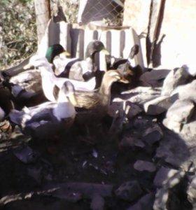 Утка башкирская, на мясо или в разведение