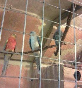 Цветные певчие попугаи