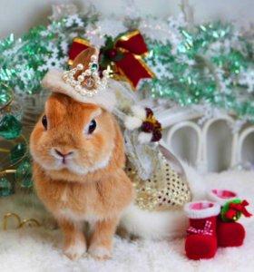 Карликовый кролик мальчик Апельсин