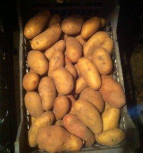 Картофель(желтая голландка)
