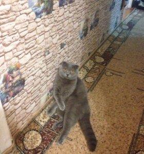 Кот ищет девочку шотландский вислоухий