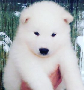Белые Аляскинские Маламуты