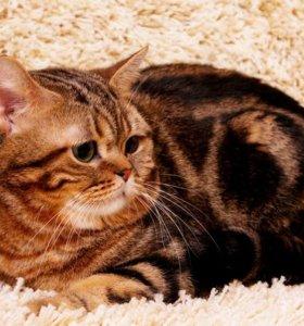Кот на вязку.шотландский страйт.