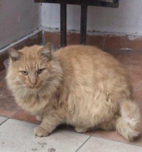 Рыжий огромный пушистый кот в добрые руки