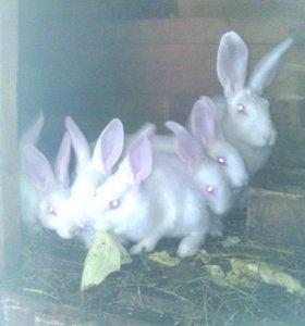 Кролики 3 м. Белый великан