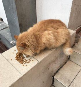Рыжий пушистый кот в добрые руки