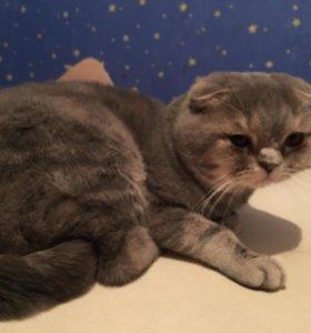 Вязка с шотландским котом на нашей территории🐈🐈