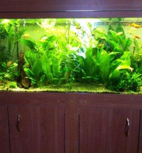 Растения  аквариумные . Рыбки.