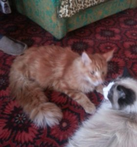 кот с родословной, паспорт. порода мейкун