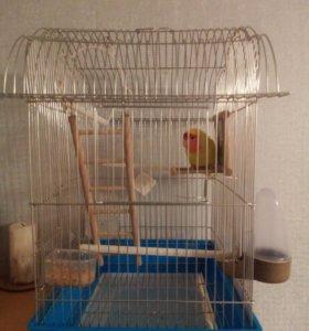 Продам попугая(неразлучник) с клеткой