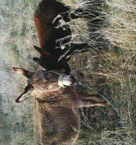 Ослица и ослик