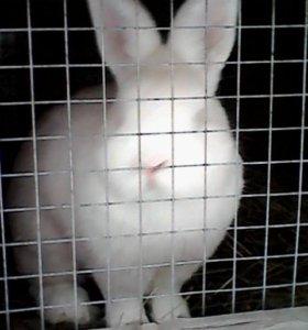 Кролики Новозеландские молодняк