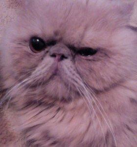 Кот перситской породы