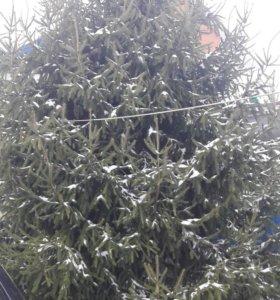 Живая елка 6 м