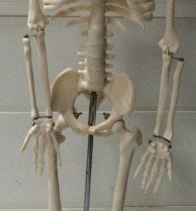 Скелет человека на подставке 85 см
