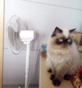 Персидский кот.Вязка.