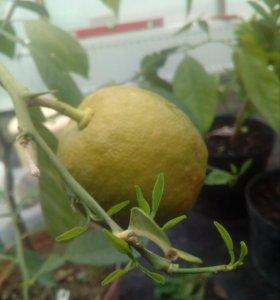 Лимон сорт Мейер