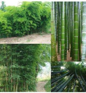 Бамбук Мосо