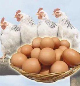 Яйцо куриное домашнее!