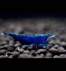 Креветки Blue Dream