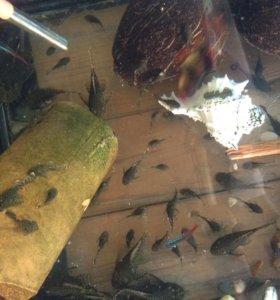 Рыбки Анциструсы