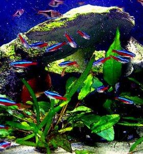 Рыбки неоны
