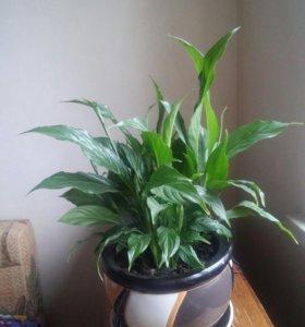 Растение Спатифиллум + горшок