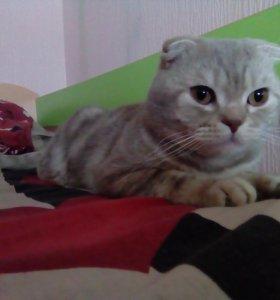 Вязка (Шотландский вислоухий кот)