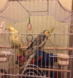 Попугаи Карелы