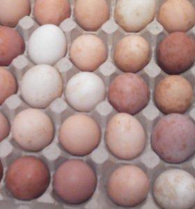 Яйцо домашней курочки