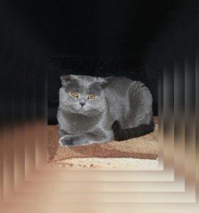 ВЯЗКА- Шотландский вислоухий кот