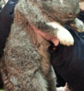 Самец кролика 8 мес(разведение)