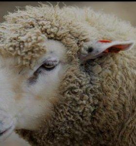Продам овцу