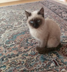 Сиамский котенок