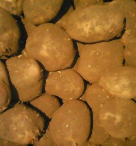 Картофель Бичура