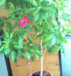Гибискус ( китайская роза)