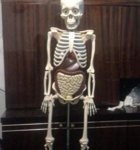 Скелет человека сборный