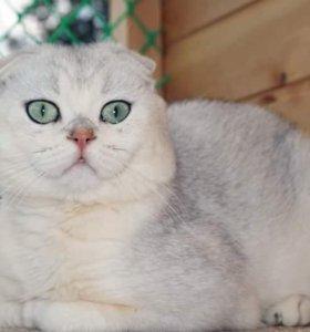 Кот скотиш фолд