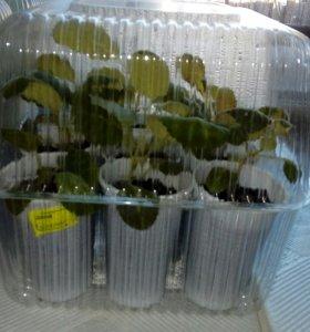 Продаю цветы глоксини. Фиалки набором