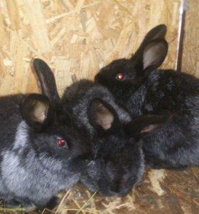 Кролики НЗК ,серебро калифоши