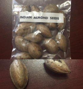 Семена Индийский Миндаль (Кетапанг )