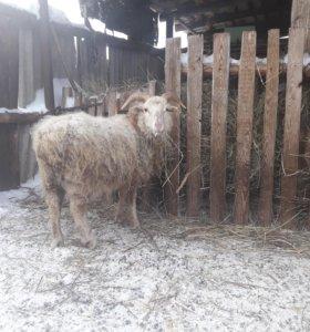 Бараны , овцы