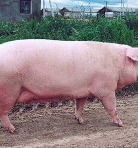 Продам мяса свинины тушей  250р за кг