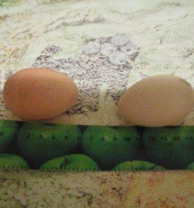 Яйца домашние.