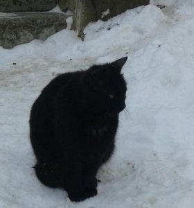 Кот черныш