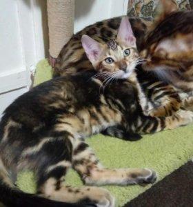 Бенгальский котенок-девочка.