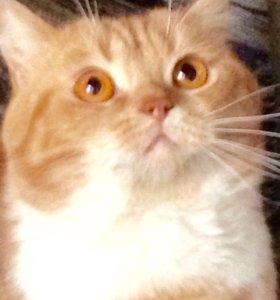 Вязка с шотландским прямоухим самым рыжим котом