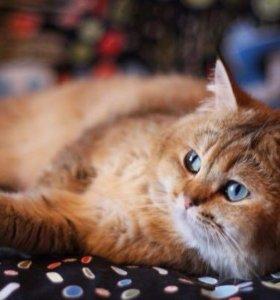 Британский кот золотая шиншилла вязка