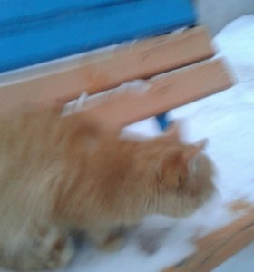 Кот сальводор